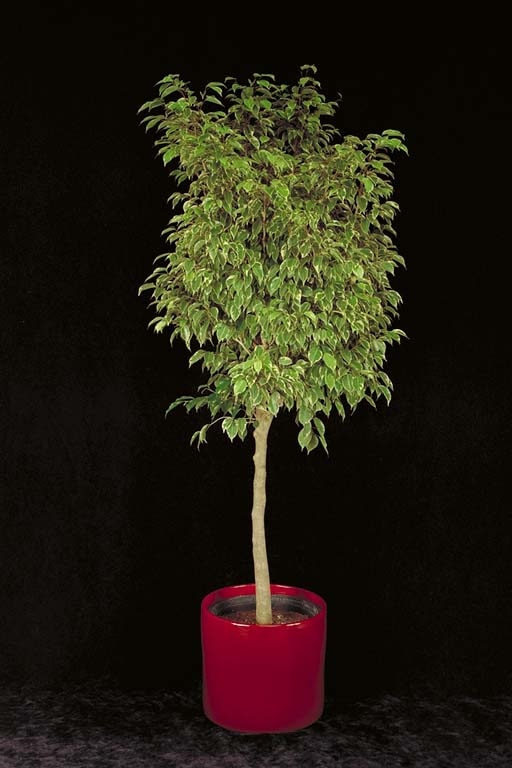 Veriegated Ficus